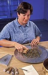 Curator cleans seeds from a snapdragon accession: Click here for full photo caption.