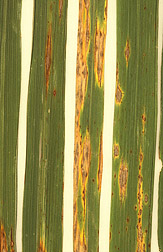 Lesions caused by the rice blast fungus, Magnaporthe grisea, on rice plant leaves. Link to photo information