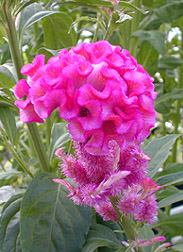 Chief Rose, Celosia argentea var. cristata: Click here for full photo caption.