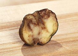 Photo: Potatoes infected with late blight are shrunken on the outside, corky and rotted inside. Link to photo information
