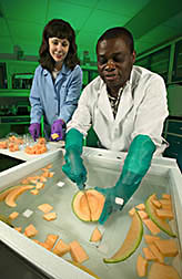 Chemist cuts a cantaloupe under water while food technologist prepares the cut samples for analysis: Click here for full photo caption.