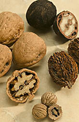 Walnuts, in a variety of shapes and sizes: Clockwise from top are Eastern Black, American butternut, Texas Black and Persian/English. Link to photo information