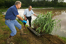 Technician and soil scientist examine giant reed: Click here for full photo caption.