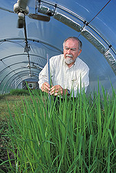 Soil scientist measures heights of rice cultivars grown in a temperature-gradient greenhouse: Click here for full photo caption.