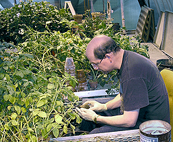 Technician examines potato clones developed by the Cornell Potato Breeding Program for nematode resistance: Click here for full photo caption.