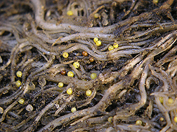 Nematode cysts on potato roots: Click here for photo caption.