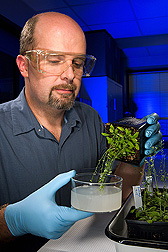 Plant geneticist introduces acyltransferase genes from tung into the genome of Arabidopsis thaliana: Click here for full photo caption.