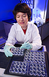 Biochemist prepares mammalian tissue samples to look for the formation of new neurons-, or neurogenesis: Click here for full photo caption.