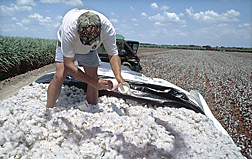 Research associate—with the Cotton Entomology Research Program, Texas Agricultural Experiment Station, Lubbock—releases marked boll weevils on freshly harvested cotton: Click here for full photo caption.