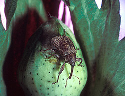 Boll weevil on a young cotton boll. Link to photo information