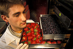 Fruits being freeze-dried by technician for use in experimental diets: Click here for full photo caption.