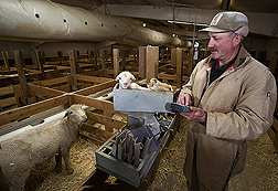 Retired technician weighs a newborn lamb and uses a handheld computer to record the data and link it to data from all the lamb's relatives: Click here for full photo caption.
