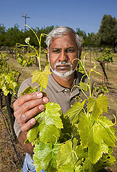 Geneticist examines characteristics of a grape accession at ARS's grape genebank in northern California: Click here for full photo caption.