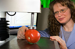 Technician measures tomato firmness with compression tests: Click here for full photo caption.