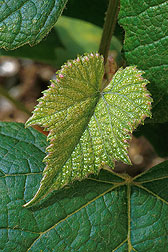Concord grape plant from the grape germplasm collection in Geneva: Click here for photo caption.