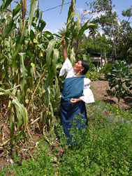 The owner of a rural lodge near Cotacachi, Ecuador, picks maize from her garden: Click here for full photo caption.