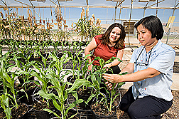 In a greenhouse at the Cropping Systems Research Laboratory in Lubbock, Texas, soil scientist (left) and plant physiologist compare the response of sorghum varieties undergoing water stress: Click here for full photo caption.