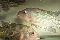 Nile tilapia, Oreochromis niloticus, used in fish health research: Click here for photo caption.