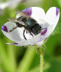 Blue orchard bee on a California five-spot flower (Nemophila maculata): Click here for photo caption.