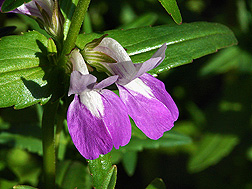 Chinese houses (Collinsia heterophylla): Click here for photo caption.