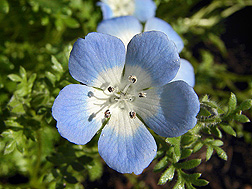 Baby blue eyes (Nemophila menziesii): Click here for photo caption.