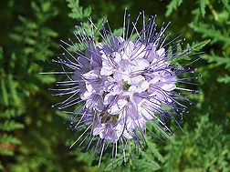 Lacy (or tansy) phacelia (Phacelia tanacetifolia): Click here for photo caption.