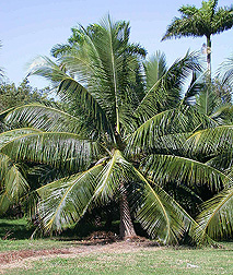 The coconut variety Niu Leka, or Fiji Dwarf, from the South Pacific may represent the earliest lineage in the coconut's domestication: Click here for photo caption.