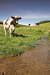An ARS team of scientists determined that the equivalent of 12 percent of the phosphorus load in the Town Brook Watershed—a major source of drinking water for New York City—came from dairy cow dung deposited directly in streams: Click here for photo caption.