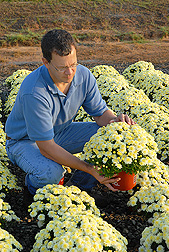 Horticulturist evaluates garden chrysanthemums grown in WholeTree at the ARS Thad Cochran Southern Horticultural Laboratory in Poplarville, Mississippi: Click here for full photo caption.