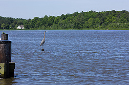 A blue heron on the Choptank River: Click here for photo caption.