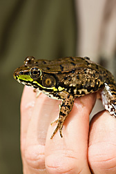 This adult male green frog (Rana clamitans) is a common inhabitant of natural and restored wetlands: Click here for full photo caption.
