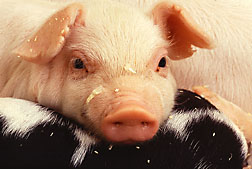 Close-up of piglet and sow: Click here for photo caption.