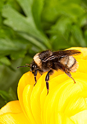 The western bumble bee, Bombus occidentalis: Click here for photo caption.