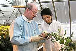 Molecular biologist and support specialist check golden nematode cysts on the root system of a potato clone developed by the Cornell University potato breeding program: Click here for full photo caption.