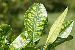 "Symptoms of HLB (Huanglongbing), also known as ""citrus greening disease."": Click here for photo caption."