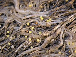Yellow- and brown-colored golden nematode (Globodera rostochiensis) cysts (about 1/3 to 1/2 mm in diameter) on potato roots: Click here for photo caption.