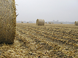 Bales of corn stover (stalks, leaves, husks, and cobs) in a field in York, Nebraska, after harvest: Click here for full photo caption.