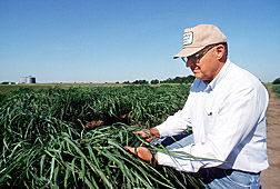 Geneticist conducting breeding and genetics research on switchgrass to improve its biomass yield and its ability to recycle carbon as a renewable energy crop: Click here for full photo caption.