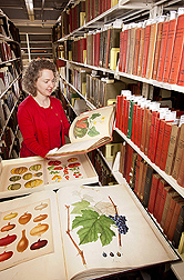 Special Collections librarian Sara B. Lee selecting fruit and vegetable images from the Rare Book Collection: Click here for photo caption.