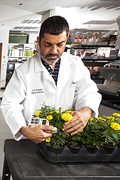 ARS horticulturist Joseph Albano checks marigolds for growth.