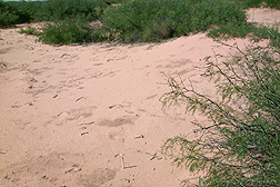 In 2003, at the end of a long drought, mesquite and bare soil dominate a study site at the Jornada Experimental Range: Click here for photo caption.