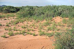 Photo: Perennial grasses growing between and around woody shrubs in the Chihuahuan desert in New Mexico. Link to photo information