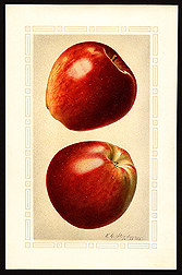 "Photo: Historic USDA watercolor documenting the ""Delicious"" apple variety. Link to photo information"