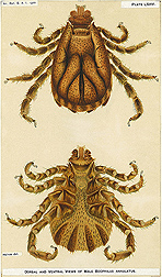 U.S. National Animal Parasite Collection Records at the National Agricultural Library include incredibly detailed drawings like this one, of a Boophilus annulatus tick, drawn in 1900: Click here for photo caption.