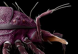 Scanning electron micrograph of a purple, red-eyed predatory mite, found on soil while hunting for small insects and mites: Click here for full photo caption.