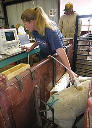 Technician Tracy Northcutt uses diagnostic ultrasound to determine fat level and muscle development of lambs: Click here for photo caption.