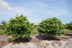 Following heat treatment in plastic tents, these Huanglongbing-infected orange trees appear nearly symptom free and productive: Click here for photo caption.