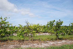 Trees infected with citrus greening, but not treated with heat, have obvious disease symptoms and reduced productivity: Click here for photo caption.