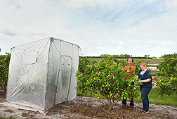 ARS plant pathologist Yongping Duan (left) and postdoctoral assistant Melissa Doud examine a tree that was previously under a tent (like the one on the left) for heat treatment to combat citrus greening: Click here for full photo caption.