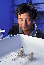 In Stoneville, Mississippi, entomologist Jian Chen works with red imported fire ants: Click here for photo caption.